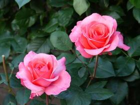 横浜市の花「バラ」でありがとうやおもてなしの気持ちを伝えようのサムネイル