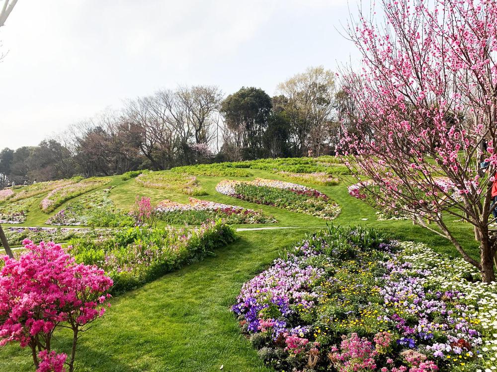 桜の開花状況のアイキャッチ画像$>