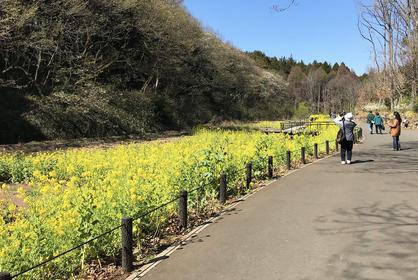 谷戸の菜の花畑1